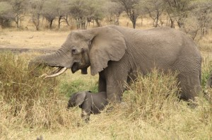 Olifant-Serengeti